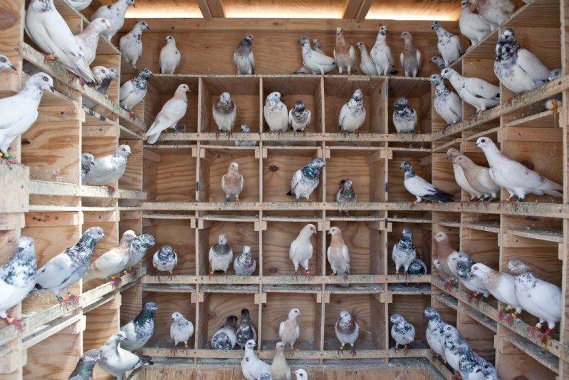 Inside Pigeon Nest Pigeon Nest Pigeon Need A Comfortable
