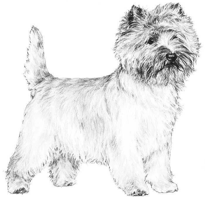 Cairn Terrier Dog Breed Information Cairn Terrier Terrier Dog