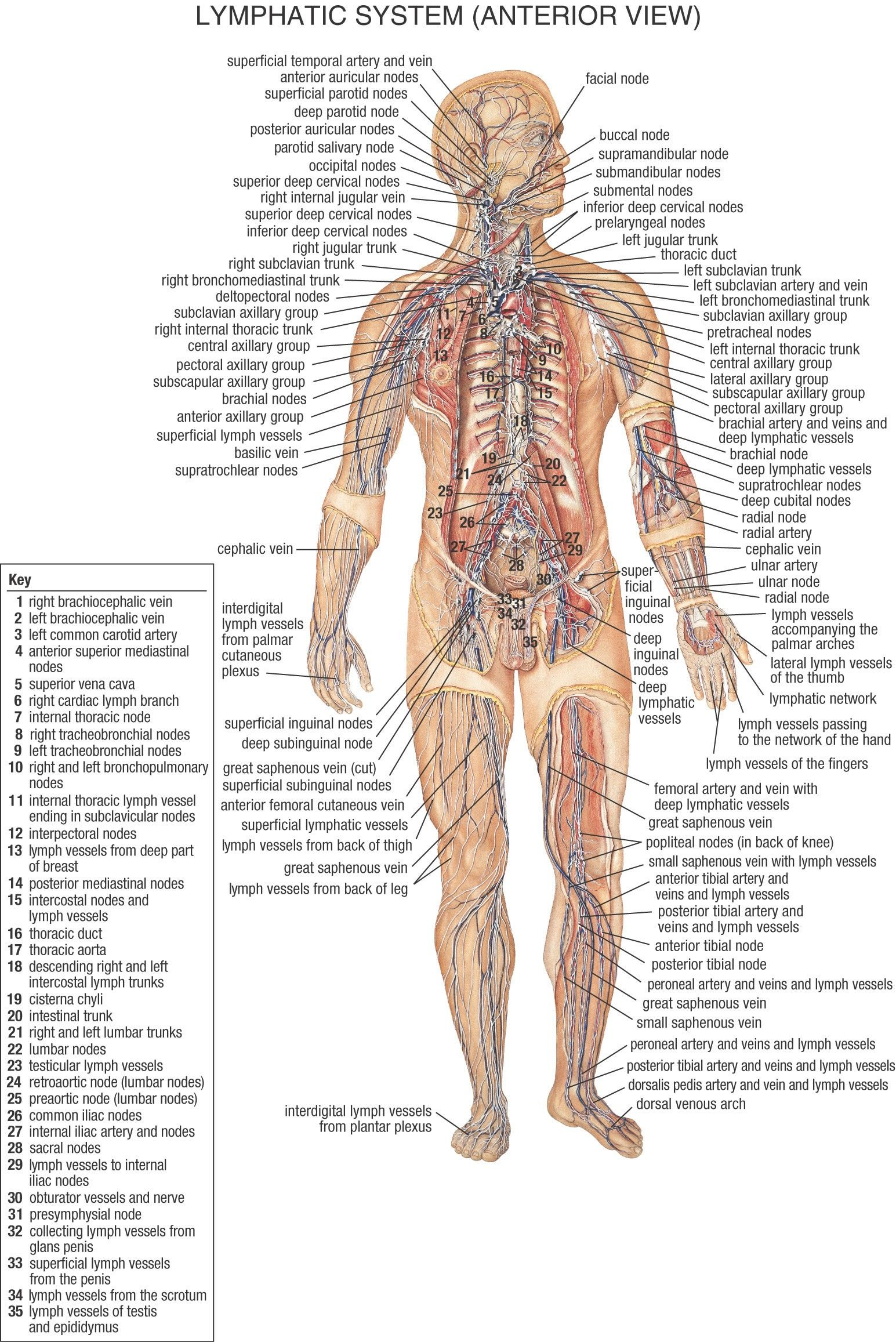 Amazing Human Body Lymphatic System Diagram Crest - Anatomy Of Human ...