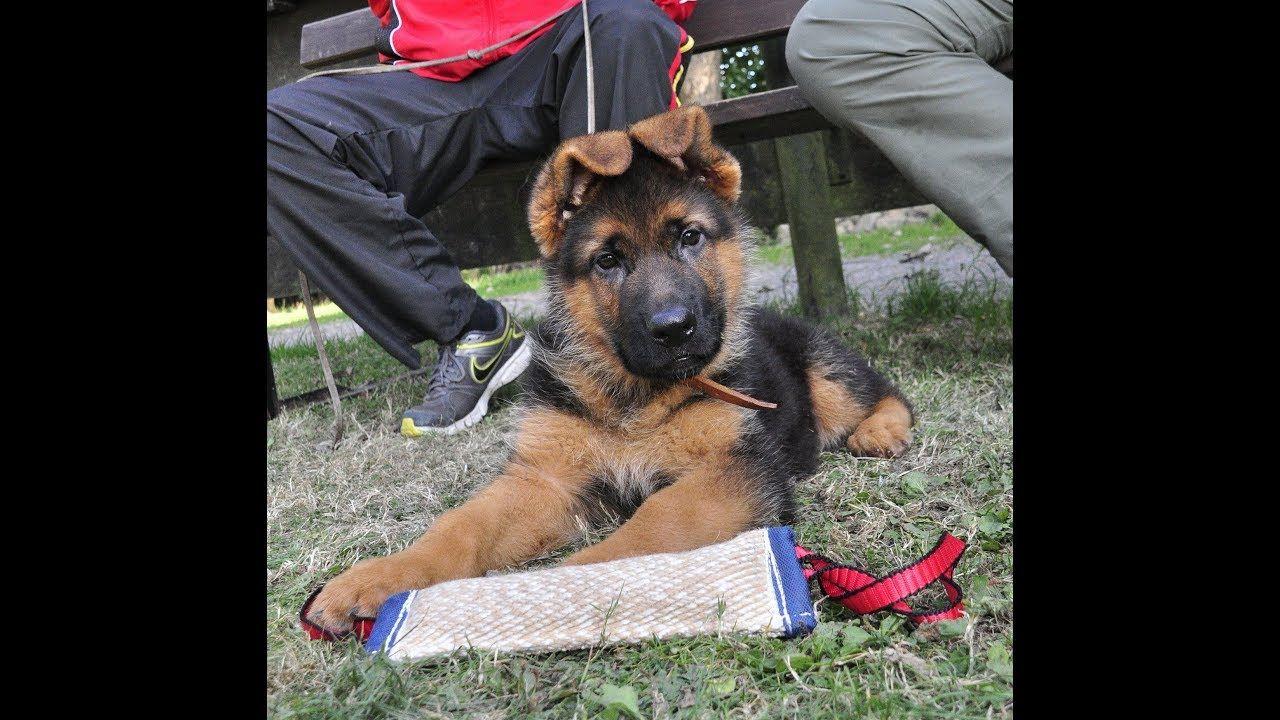 Cute & Funny German Shepherd Puppies Compilation Video