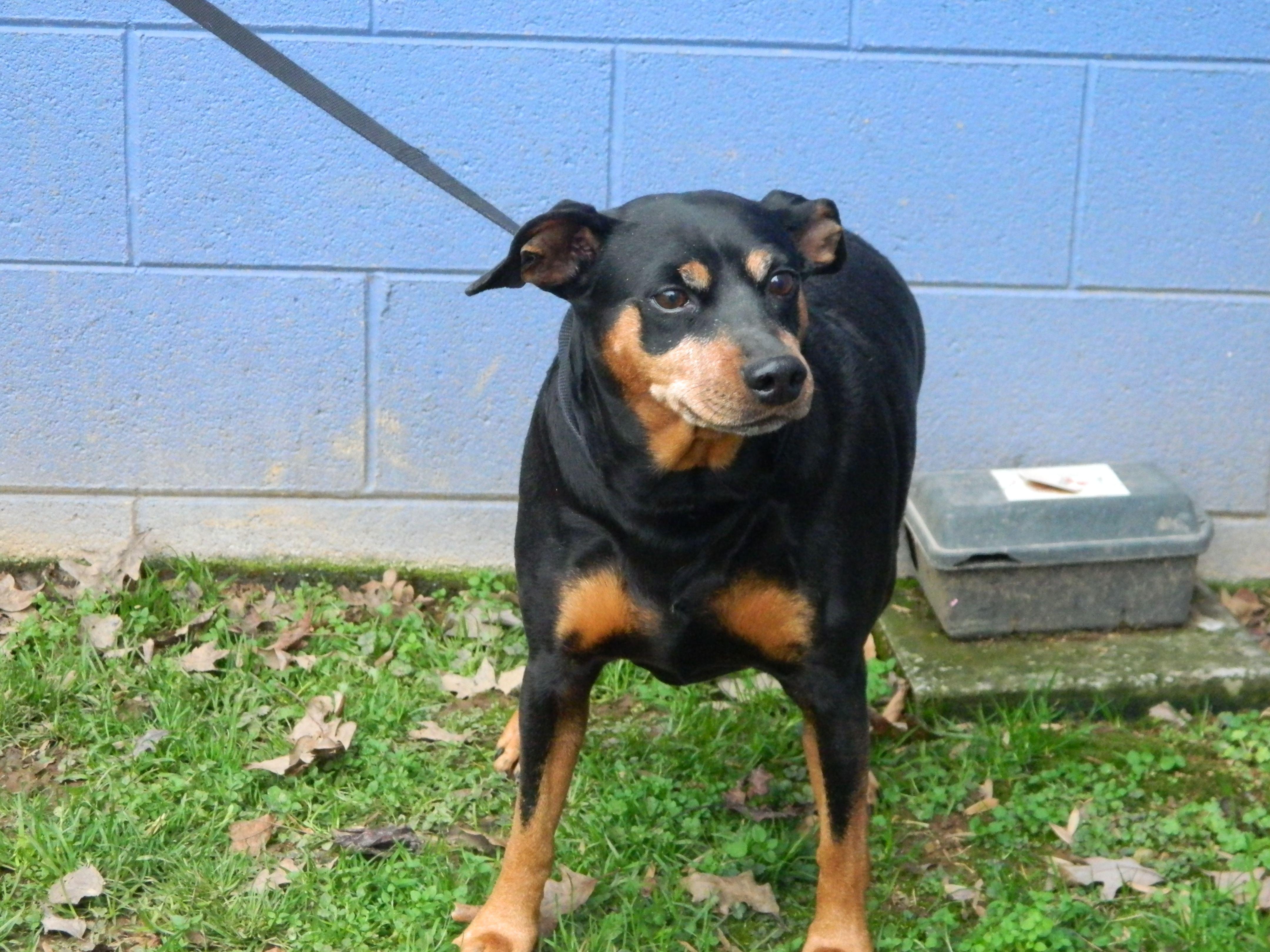 Miniature Pinscher dog for Adoption in Randleman, NC. ADN