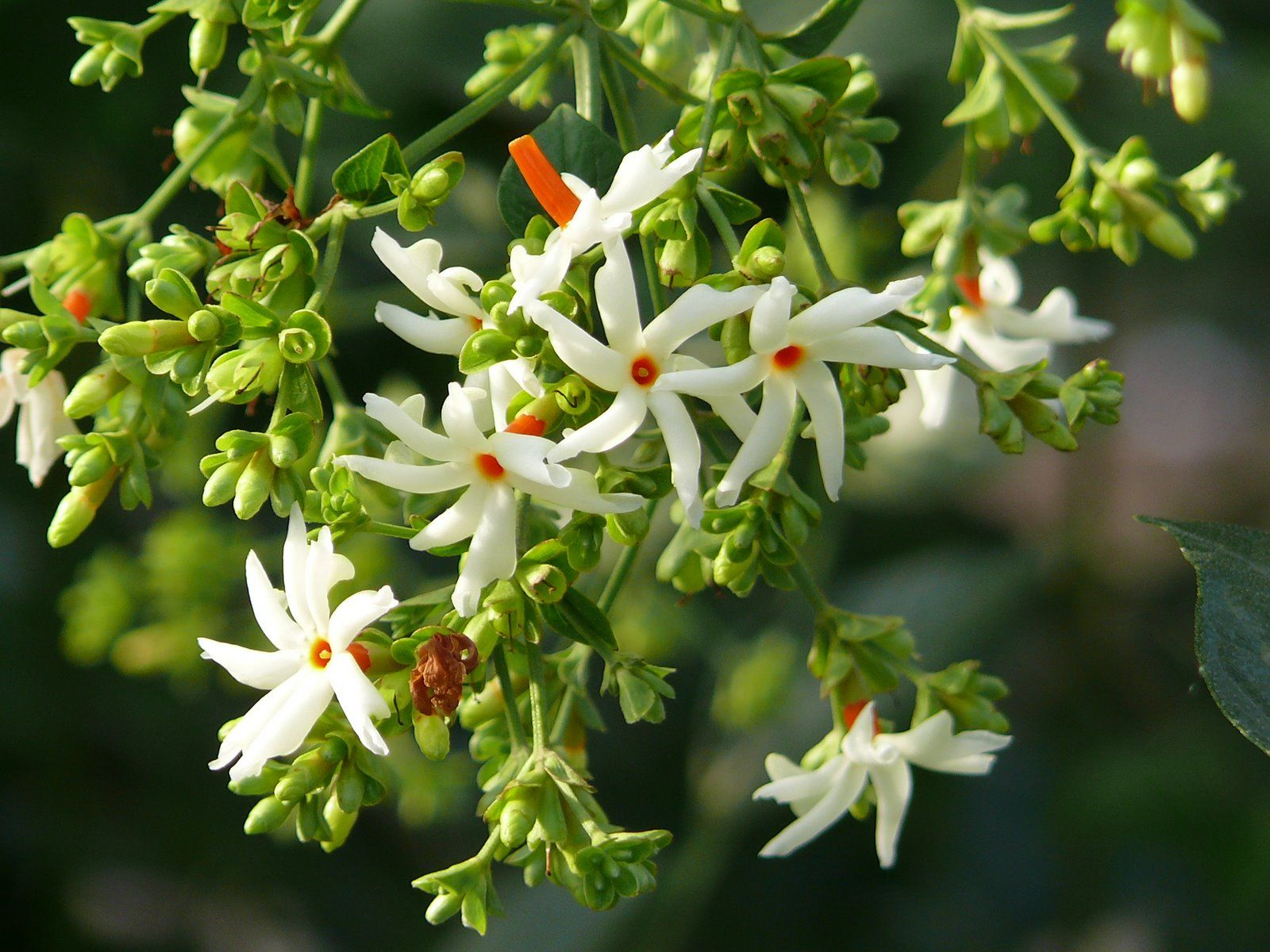 Nyctanthes Arbortristis Coral Jasmine Night Jasmine The Tree Is Sometimes Called The Tree Of Sorrow Becaus Fragrant Flowers Jasmine Plant Jasmine Flower