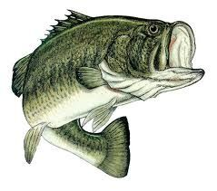 Large mouth bass are one of the most popular freshwater game fish in the U.S.