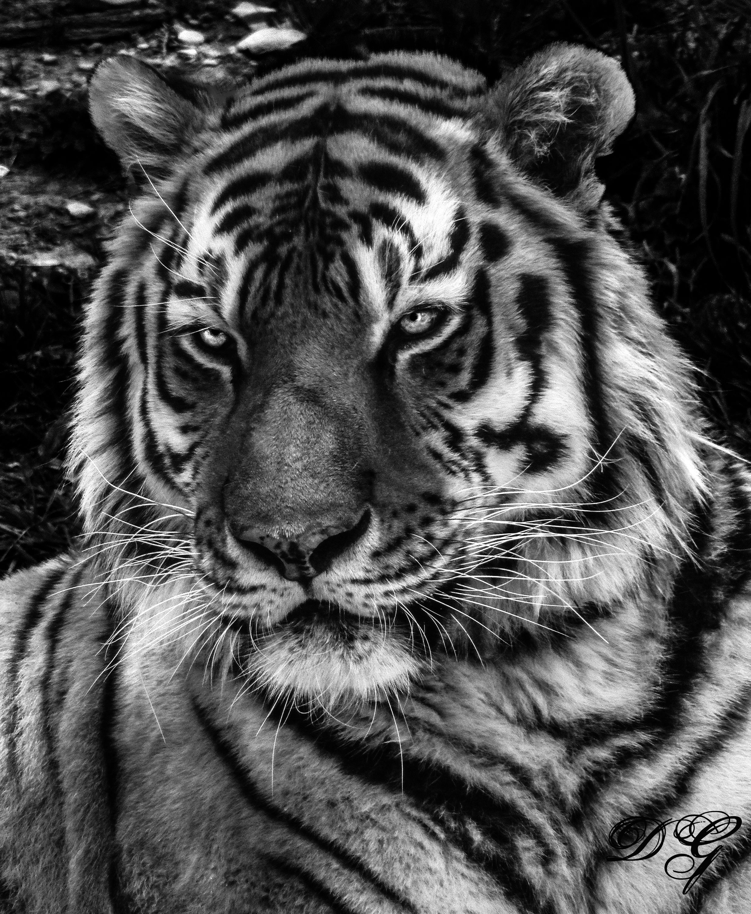 Tiger Black And White Photography TigersIphone WallpapersWhite