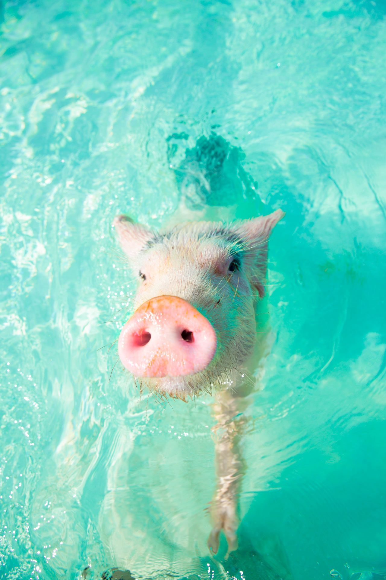 Swim With The Pigs: The Ultimate Guide (Incl. Insider Tips) | Sandals*