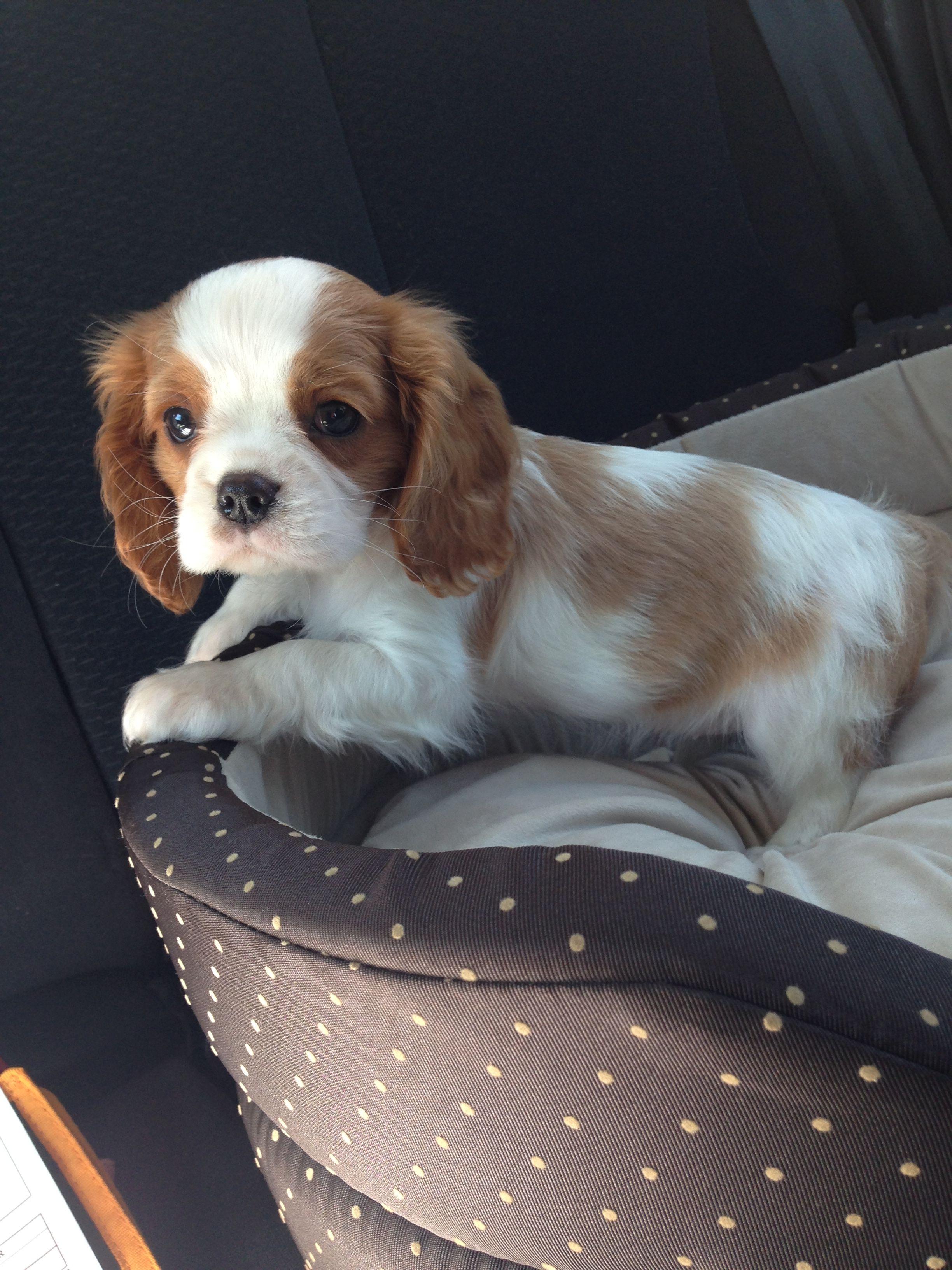 Cavalier King Charles, ma petite Mila à 2 mois 💜💜 King