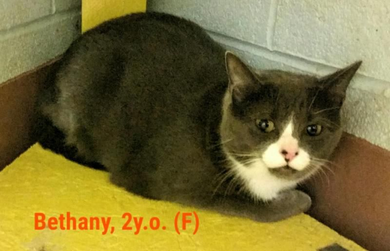 Adopt Bethany On Grey Cats Adoption Animal Welfare League