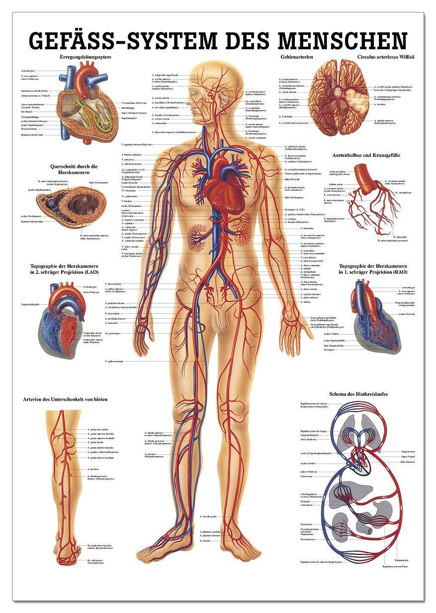 Menschliche Anatomie Poster | Anatomie | Pinterest | Anatomy ...
