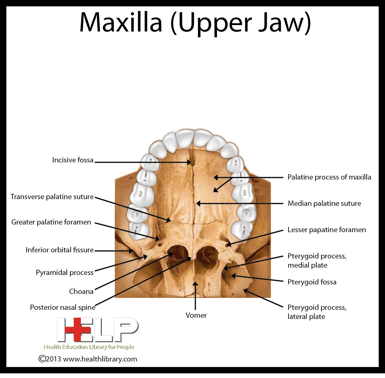 Maxilla (Upper Jaw) | Dental | Pinterest | Dental, Anatomy and ...
