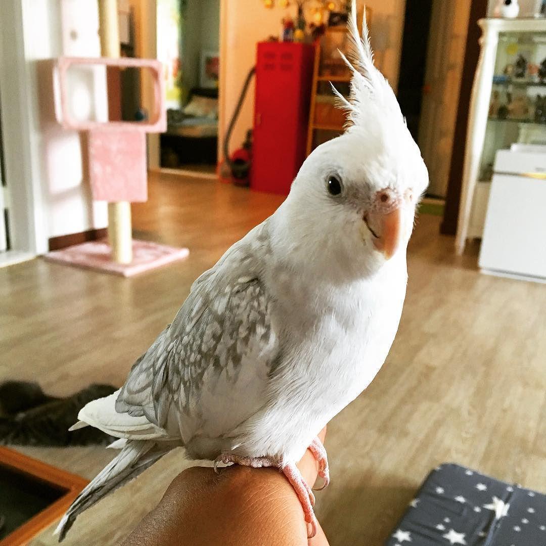 굿모닝 루이 #새스타그램 #앵무새 #앵무스타그램 #왕관앵무 #parrot #goodmorning by jksh0804 http://www.australiaunwrapped.com/