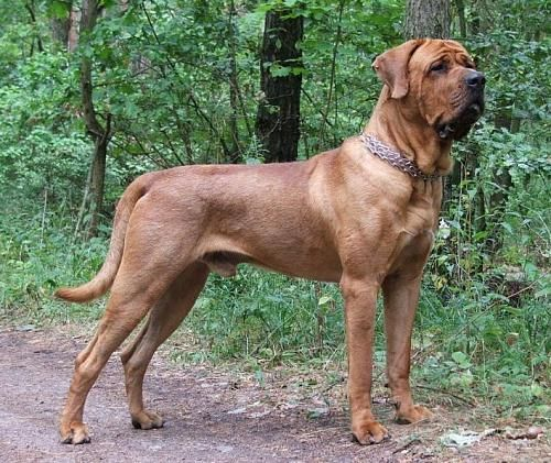 Which Dog Breeds Are Banned In The Uk Japanese Mastiff Rare