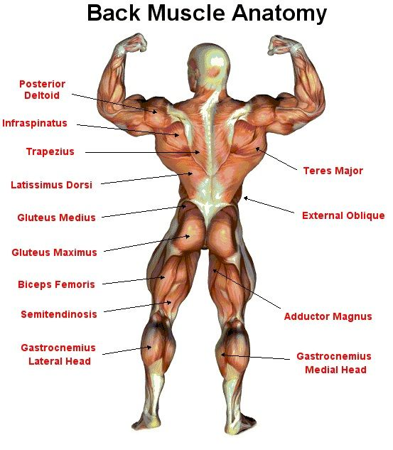 Anatomy Of Body Back Body Muscle Groups Medical Careers