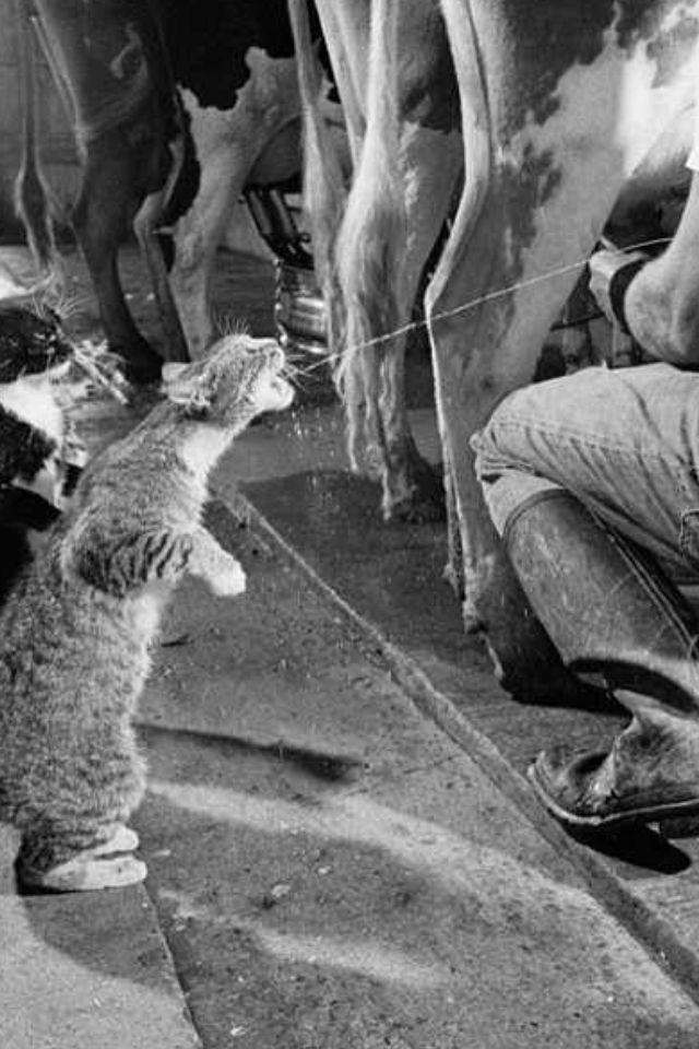 Free Cow Milk Gatos Fotos Con Gatos Loca De Los Gatos