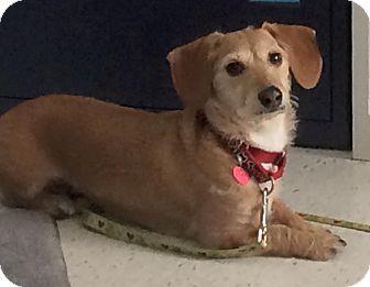 Oak Ridge Nj Dachshund Mix Meet Codi A Dog For Adoption Dachshund Mix Dog Adoption Saving Cat