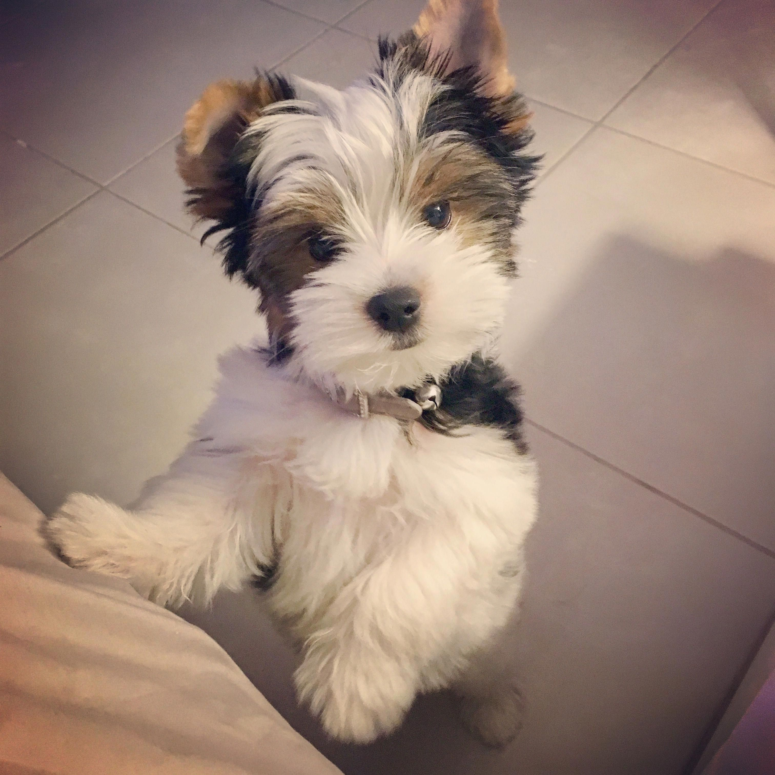 Yorkshire Terriers Are A Small Type Of Toy Dogs Weighing A Weak