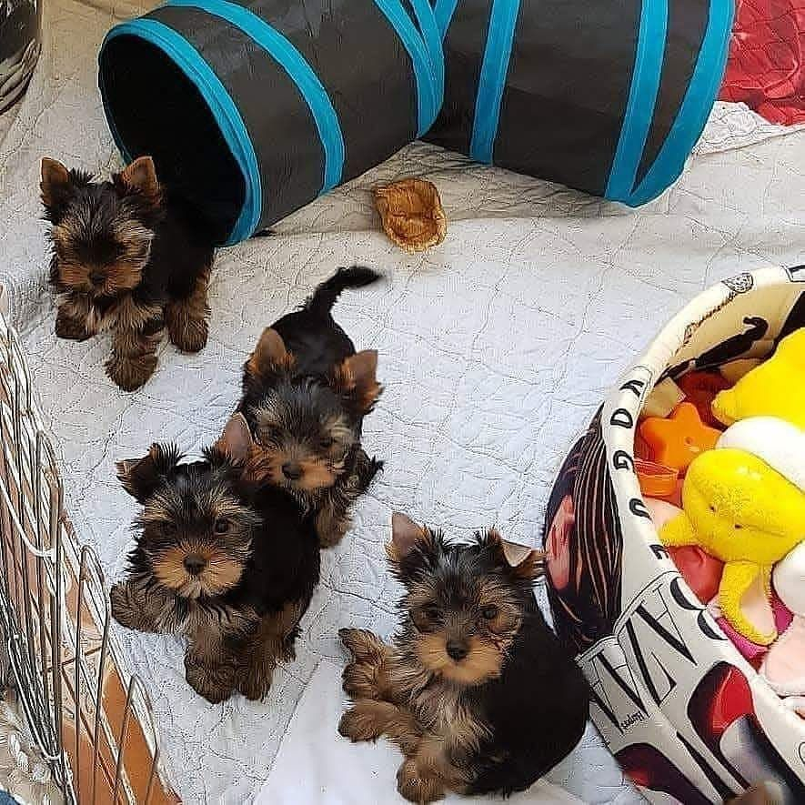 Healthy Yorkie Babies For Sale Yorkie Yorkie Puppy Tea Cup Dogs