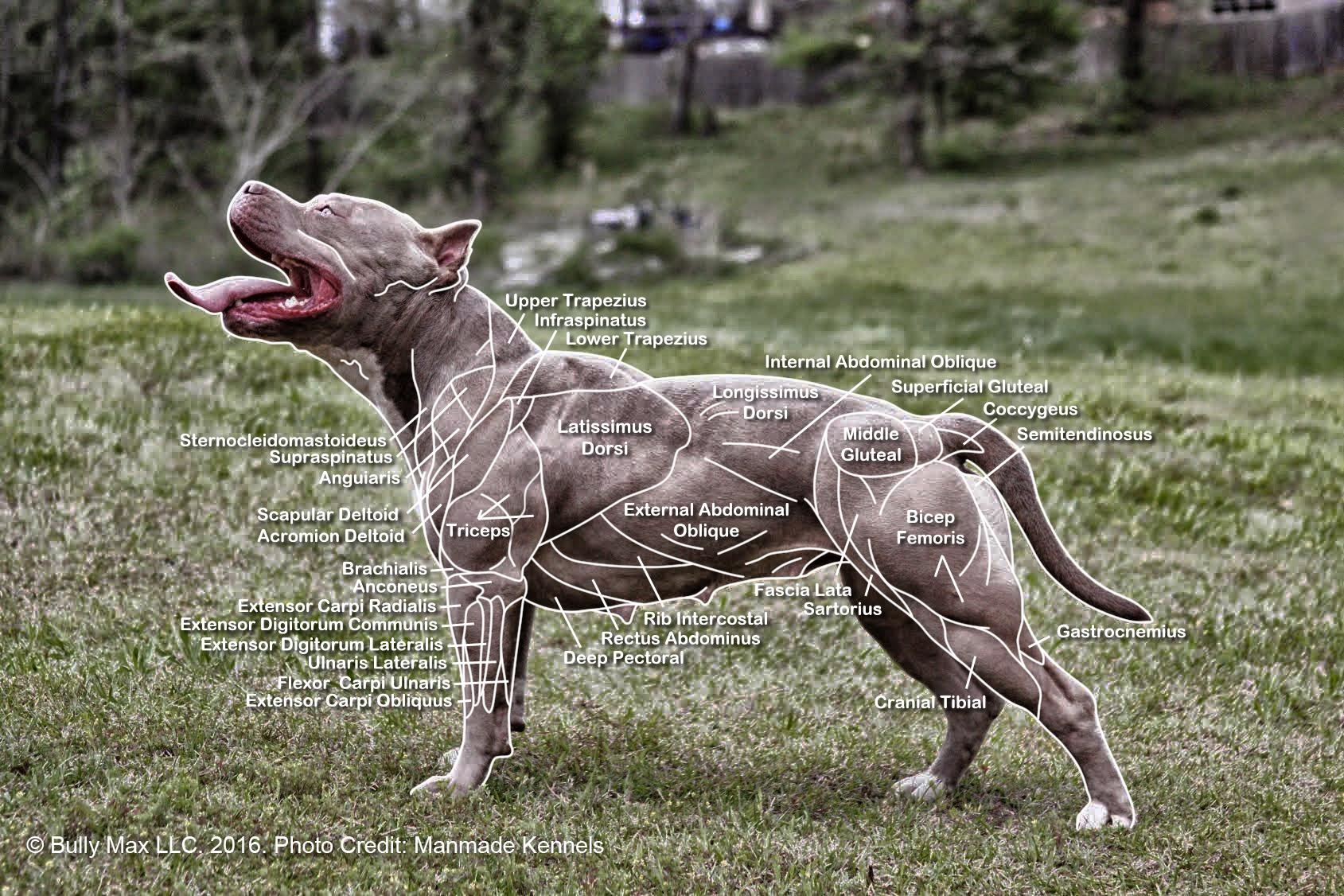 Dog Muscle Anatomy Animals Pinterest Muscle Anatomy Dog And