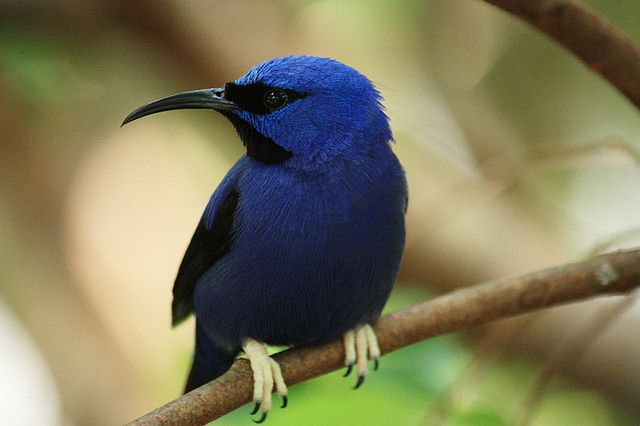 https://flic.kr/p/6BVpzb | Another Blue bird | This a yellow legged Honeycreeper I photographed at the Butterfly World in Florida.