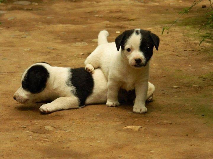 puppies jrt