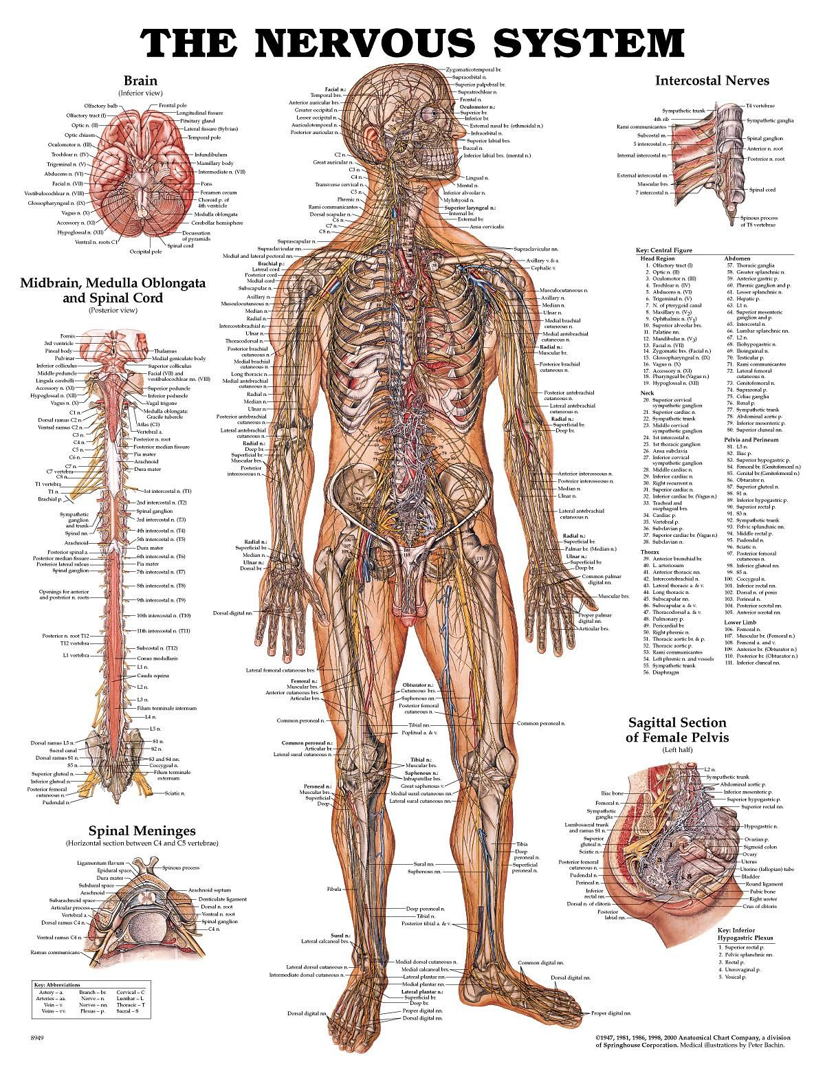 nerves in the human body - Google Search | Study Goals!!!! in 2018 ...