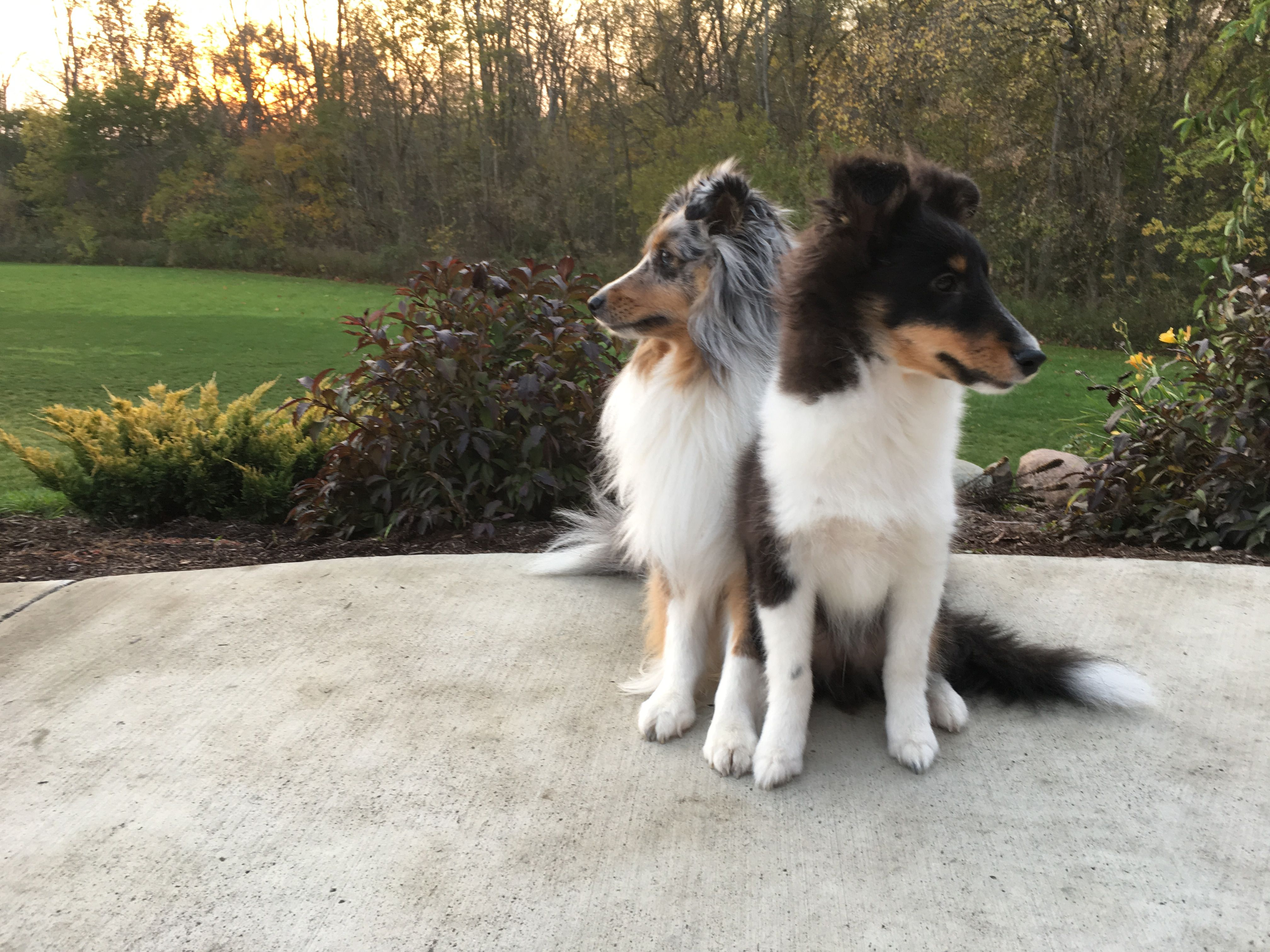 Rudy Blue Merle Sheltie Rockne Tri Colored Sheltie Sheltie