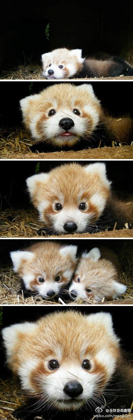 GORGEOUS Red Pandas. #babypandas