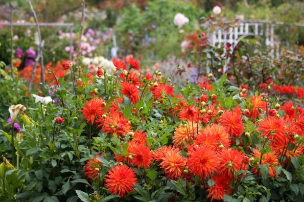 Dalie Jak Przechowywac Zima Karpy Dalii Plants Country Gardening Garden
