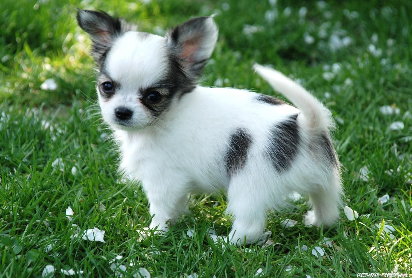 adorable! Chihuahua love, Cute animals, Pets