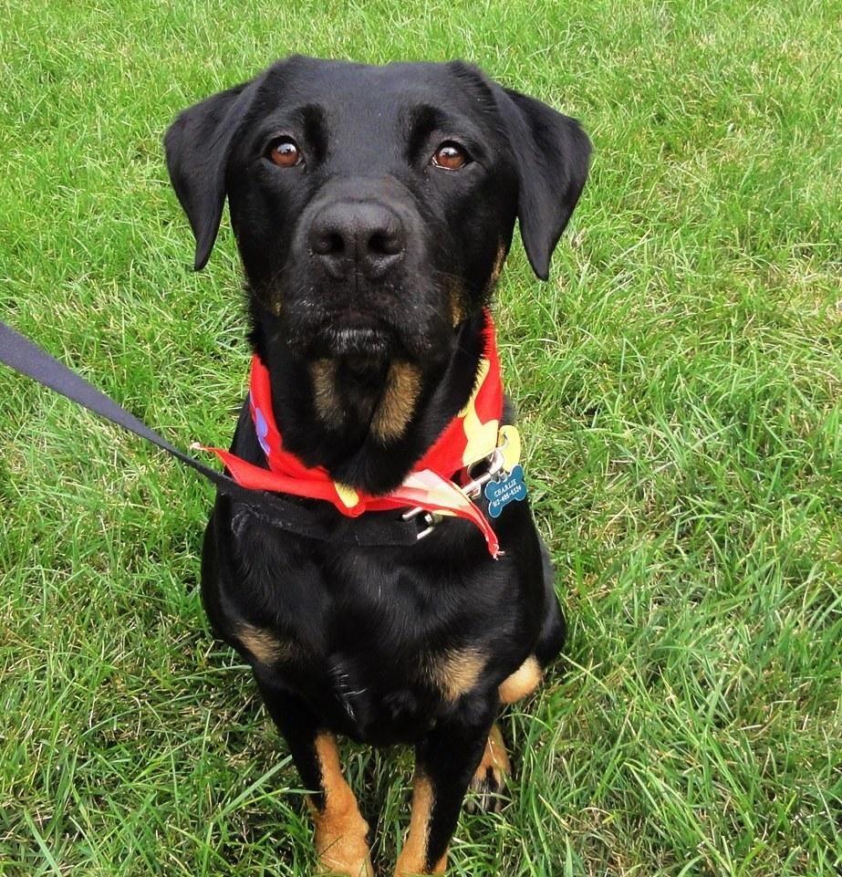 Adopt anita on black labrador retriever rottweiler mix