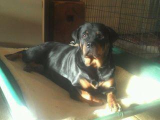 Rottie On Raised Dog Bed Dog Beds Pinterest Raised Dog Beds