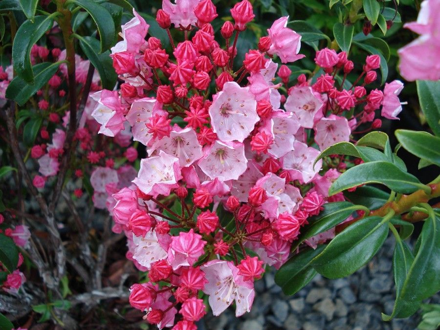 Pink Mountain Laurel Bush Kalmia Latifolia Hoffman S Pink Mountain Laurel Kalmia Latifolia Laurel Shrub Bushes And Shrubs