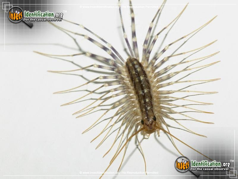 Insect Identification House Centipede Centipede Bugs And Insects Get Rid Of Silverfish