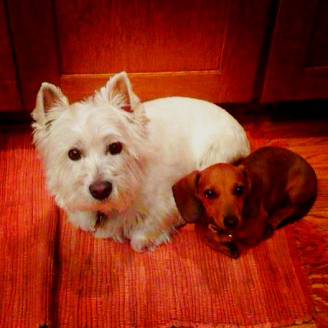 Cutest Dogs Ever Dachshund And Westie Cutest Dog Ever Cute Dogs