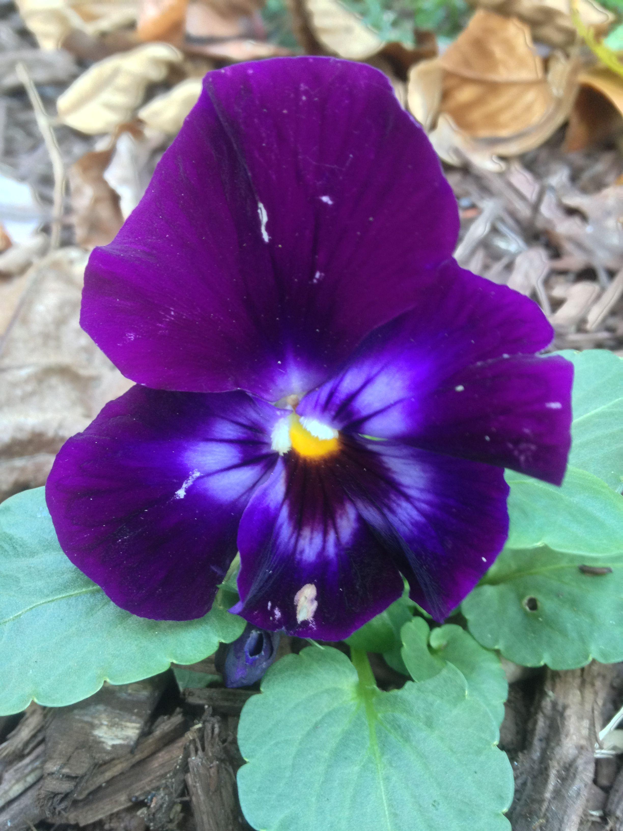 Pin On Pansies Violas