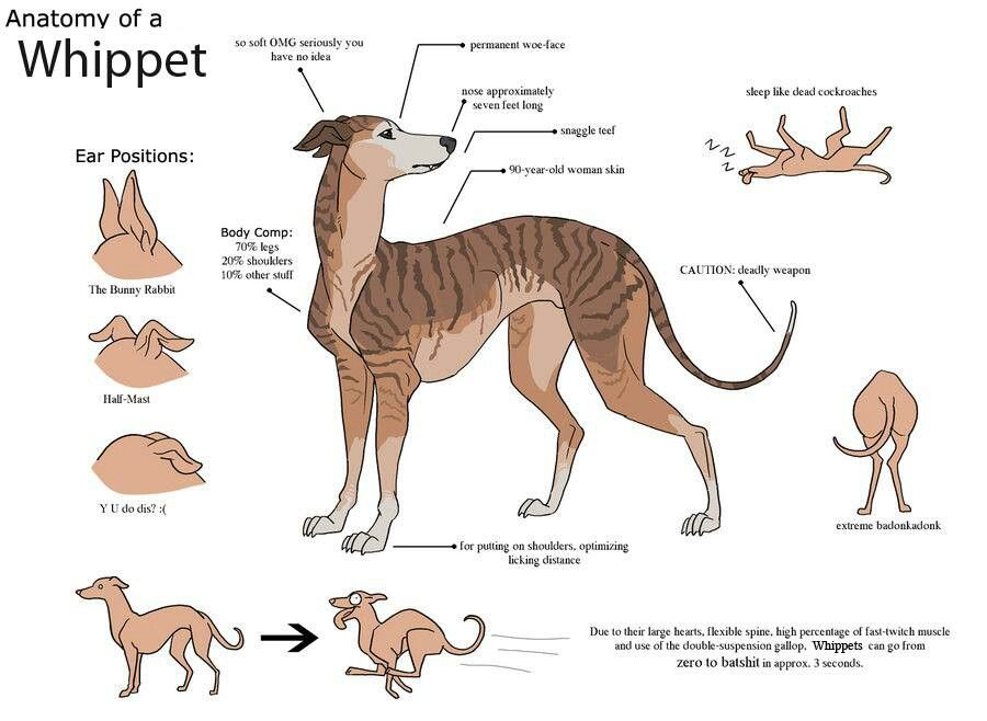 Anatomy of a whippet | whippets | Pinterest | Whippets, Dog and Animal