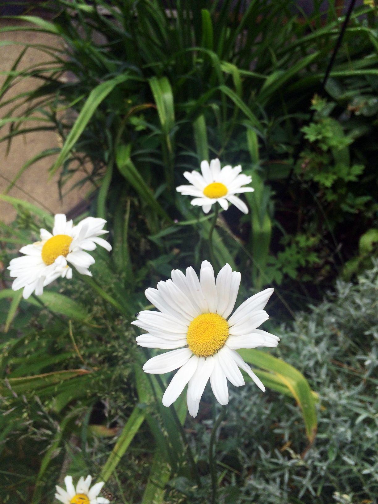 Pin by leigh ann hughey on daisies pinterest flowers and gardens daisy love daisy daisy daisy flowers daisies margaritas nice home ideas margarita flower margarita flower izmirmasajfo