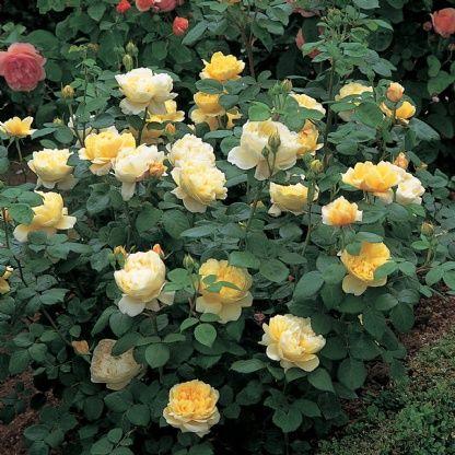 charles darwin david austin roses landscaping pinterest. Black Bedroom Furniture Sets. Home Design Ideas