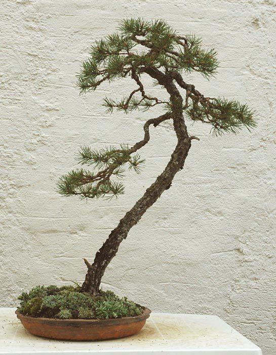 Image result for literati bonsai bonsai pinterest for Literati bonsai gallery