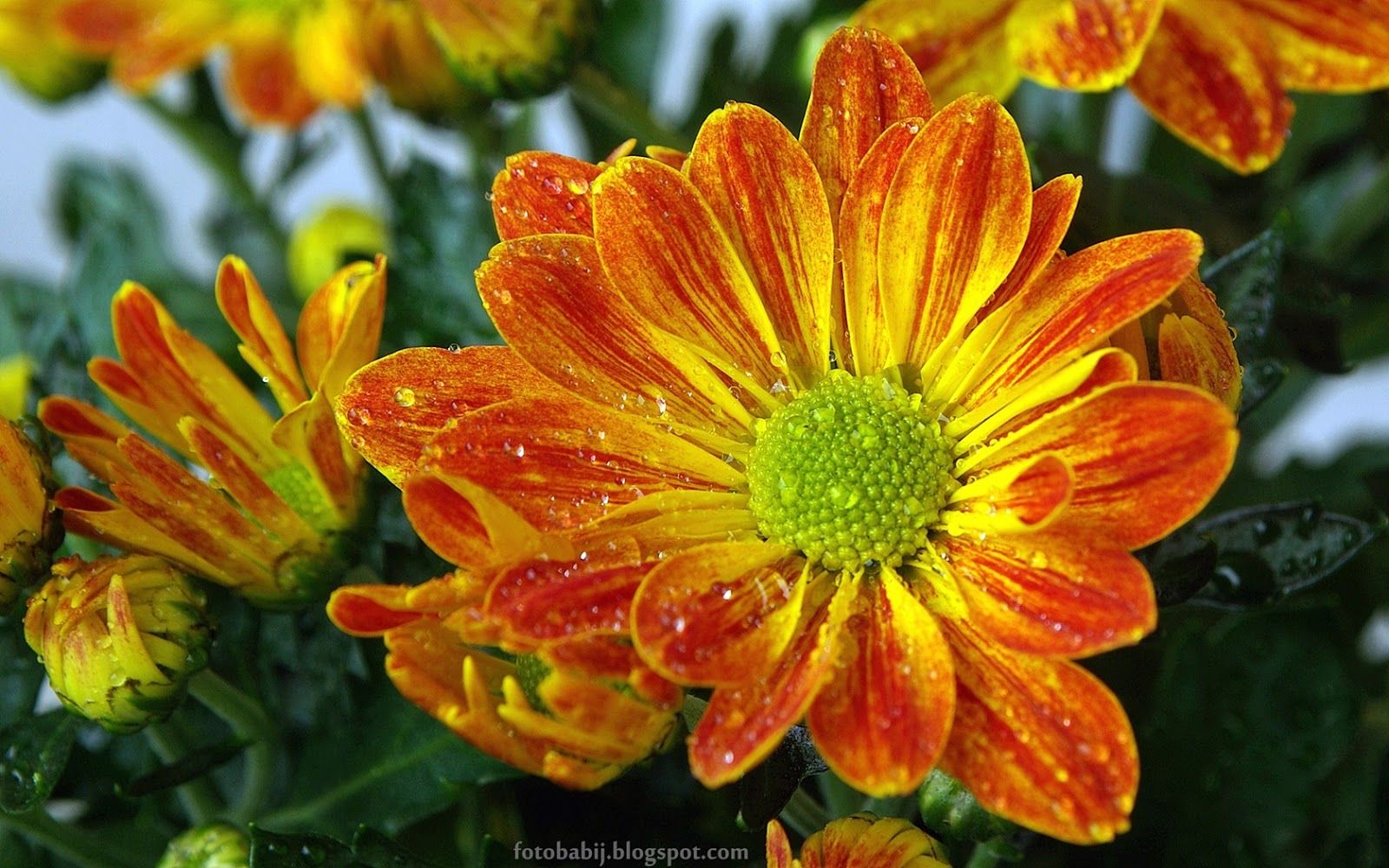 Tapety Na Pulpit 4k Ultra Hd Full Hd I Inne Rozdzielczosci Kwiat Chryzantemy Chrysanthemum Flower Chrysanthemum Flower Flower Wallpaper Chrysanthemum