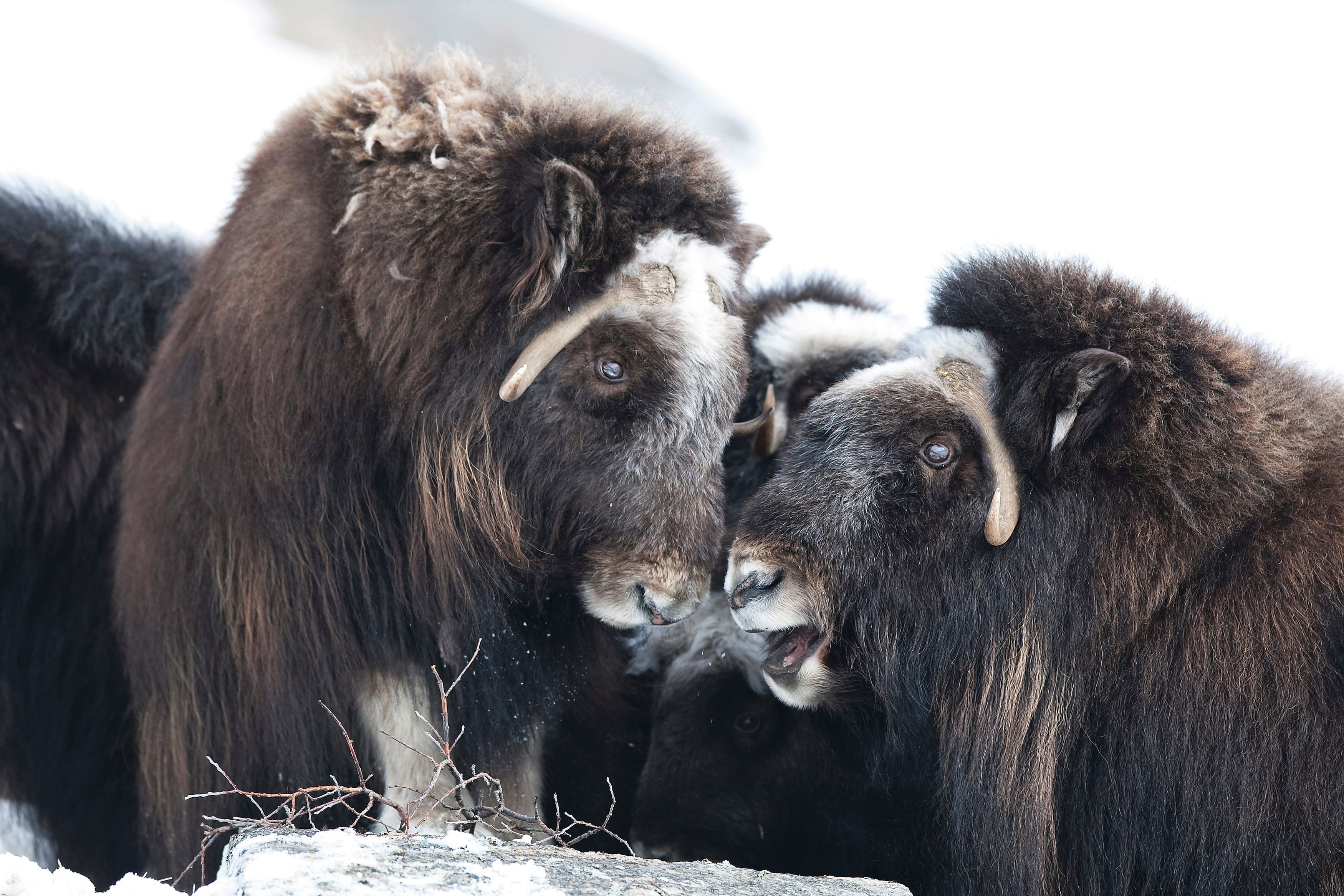 Extreme Survivors Greenland S Hardy Wildlife Under Threat From