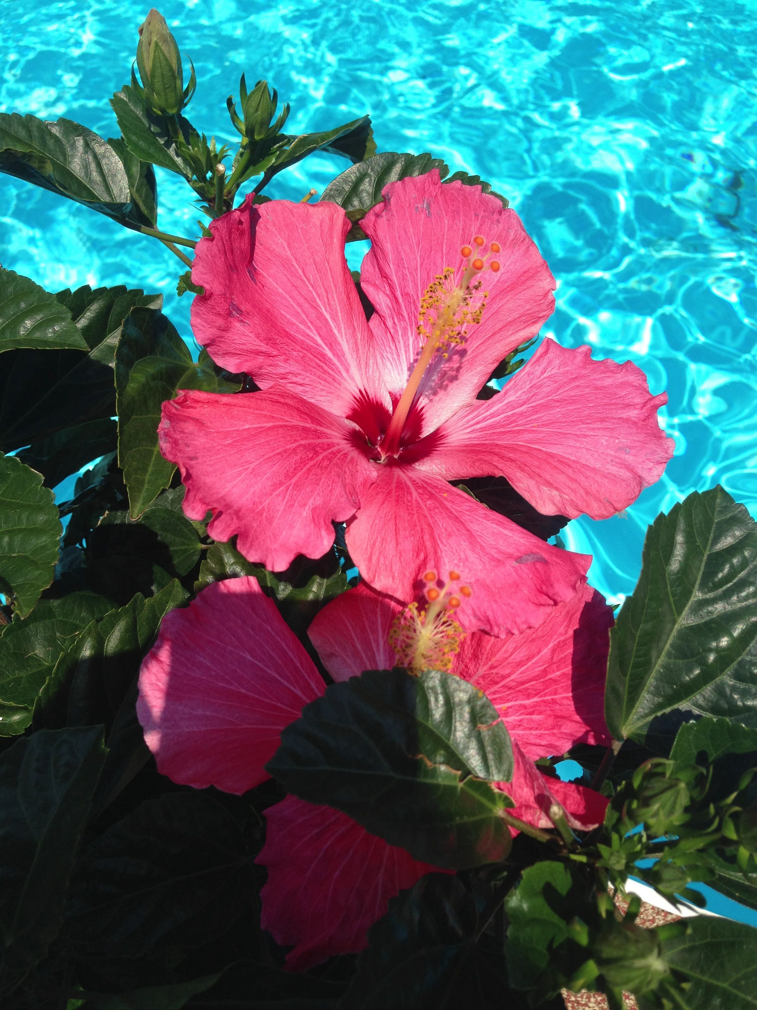 Beautiful Hibiscus By The Pool Flower Wallpaper Summer Wallpaper Wallpaper