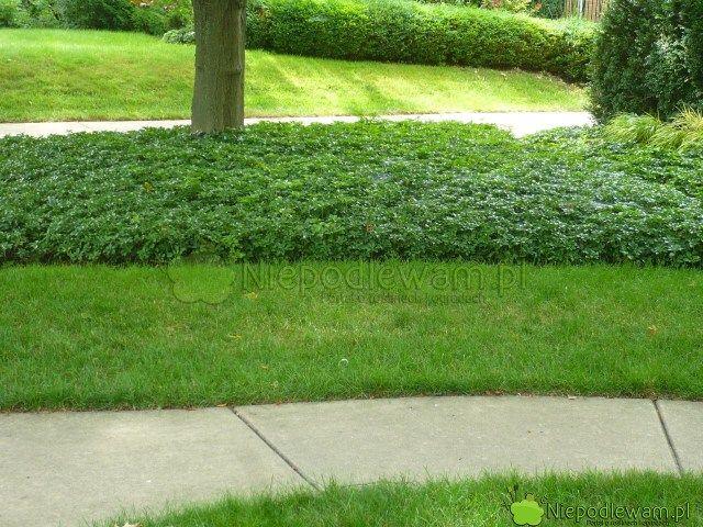 W Zacienionych Miejscach Np Pod Drzewami Zamiast Trawnika Mozna Sadzic Rozne Rosliny Tutaj Trawnik Przeplataja Lany Runianki J Garden Outdoor Decor Outdoor
