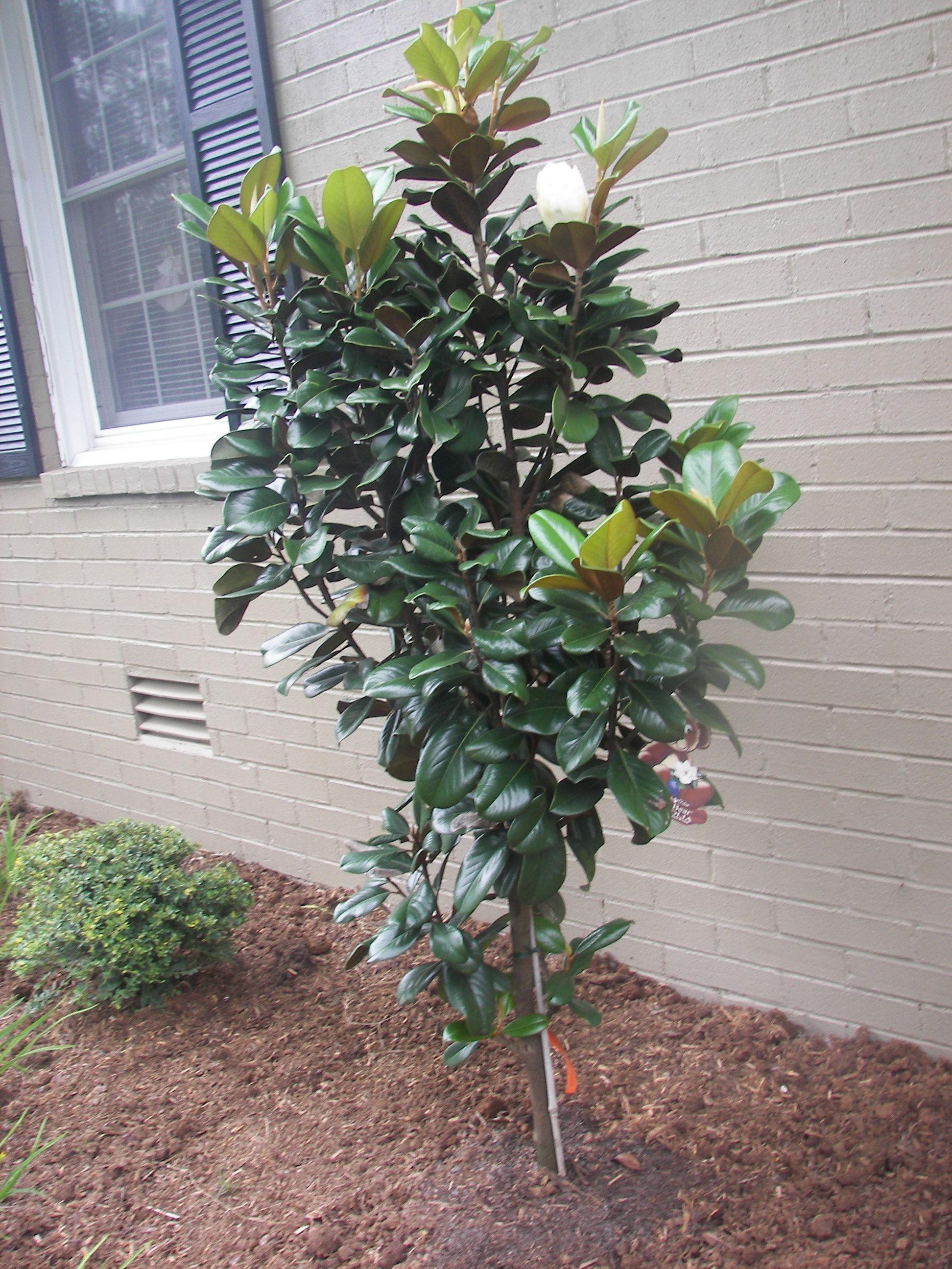 teddy bear dwarf magnolia tree patio plants pinterest dwarf