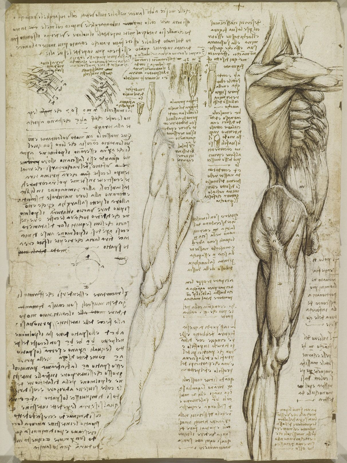 Leonardo da Vinci, 1452-1519, Italian, The muscles of the trunk and ...
