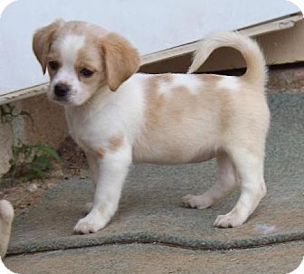 Potato Chip Beagle Cocker Spaniel Mix Adopted Mixed Breed Puppies Pets Cocker Spaniel Mix