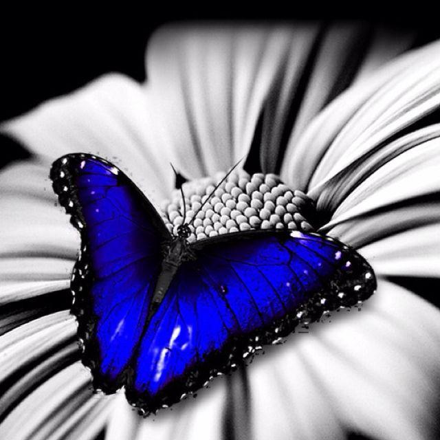 Dark blue butterfly!!!!!! | *Butterflies, Dragonflies ...