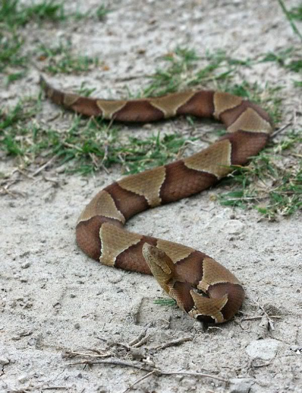 southern copperhead the southern copperhead is a moderate sized snake with thick heavy banded body