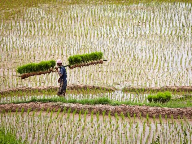 Indonésie : à la rencontre du peuple Toraja sur l'île de Sulawesi qui ont développé l'art de la culture du riz et c'est sur le marché de Rantepao, principale ville du pays Toraja, que les habitants viennent vendre leurs récoltes.Le pays Toraja est réputé pour ses rites funéraires