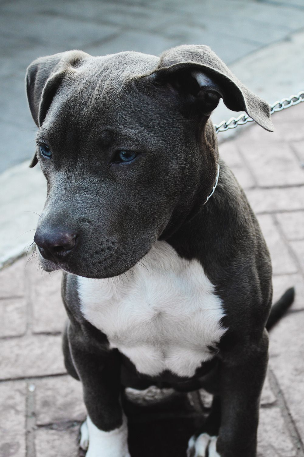 Pin By Leon Brooks On Char Silas Kuznetsov 2 Pitbull Terrier Cute Dogs And Puppies Blue Nose Pitbull