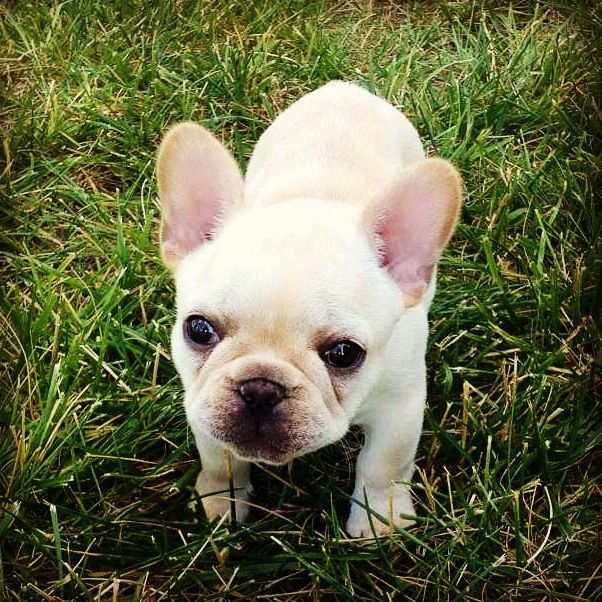 Frenchie Puppy Cute Wittle Fings Mostly Frenchies Pinterest